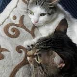 Lady & lancelot, Chat européen à adopter