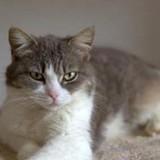 Krasota, Chat à adopter
