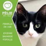 Félie, Chat européen à adopter