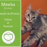 Meeka, Chat européen à adopter