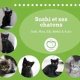 Sushi, Chat européen à adopter