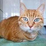 Althea jolie rousse aux yeux bleus, Chat à adopter