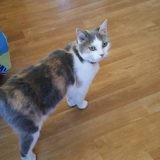 Alice, Chat européen à adopter
