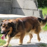 Nimbus, Chien basset hound, berger allemand à adopter