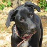 Ella, Chiot labrador retriever à adopter