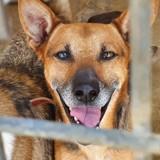 Dingo, Chien berger allemand, chien courant espagnol à adopter