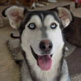 Luz, Chien chien courant espagnol, husky sibérien à adopter