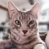 Grisou, Chat européen à adopter