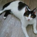 Alys, Chat européen à adopter