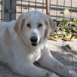 Foster, Chiot berger des pyrénées à adopter
