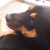 Leon, Chien beauceron, husky sibérien à adopter