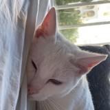 Saphir, Chat à adopter