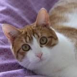 Timon chat roux/blanc de 1 an, Chat à adopter