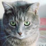Anya femelle tigrée/gris de 2 ans 1/2, Chat à adopter