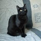 Sylia femelle noire de 1 an 1/2, Chat à adopter