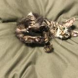 Chaton 5 mois tigris, Chaton à adopter