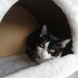 Tess, douce et délicate, Chaton à adopter