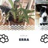Erra, Chiot jack russell terrier à adopter