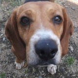 Iris, Chien beagle à adopter