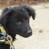 Francis, Chiot à adopter