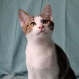 Suki san chaton tigré/blanc de 4 mois, Chaton à adopter