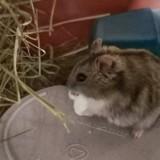 Finn hamster russe male, Animal à adopter