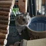 Rey hamster femelle, Animal à adopter