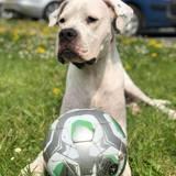 Marvel, Chien dogue argentin à adopter
