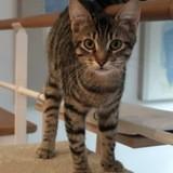 Toli chaton tigré de 8 mois, Chaton à adopter