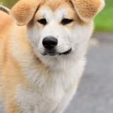 Droopy, Chiot akita inu à adopter