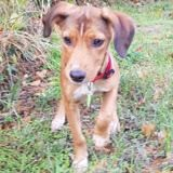 Socquette, Chiot à adopter