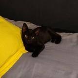 Naori réservé) et onyx, Chaton européen à adopter