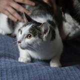 Freia, Chat européen à adopter