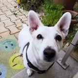 Tidji adorable petit croisé jack russel, Chien jack russell terrier à adopter