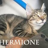Hermione chatonne tigrée bouille à bisous, Chaton à adopter