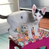 Choups chaton blanc et noir espiègle, Chaton à adopter