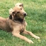 Watson, jeune mâle croisé berger non lof, Chiot à adopter