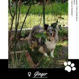 Ginger, Chien berger des shetland à adopter