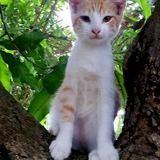 Popy, chaton mâle croisé, Chaton à adopter