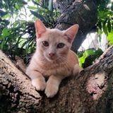 Simba, chaton mâle croisé, Chaton à adopter