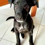 Starskie, chiot femelle croisée créole, Chiot à adopter