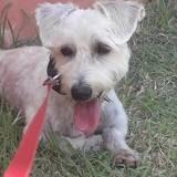 Gigotte, petite chienne croisée bichon, Chien à adopter