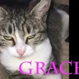 Grace adorable chatonne tigrée et blanche, Chaton à adopter