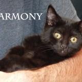 Harmony chatonne noire caline et joueuse, Chaton à adopter
