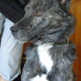 Ecto, Chien husky sibérien à adopter