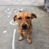 Libellule, Chien jack russell terrier, pinscher à adopter