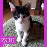 Zoe jolie chatonne noire et blanche, Chaton à adopter