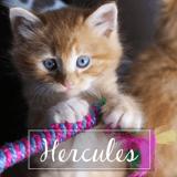Hercules, Chaton à adopter