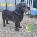 Grisou, Chien cairn terrier à adopter