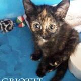 Griotte chatonne écaille très gentille, Chaton à adopter